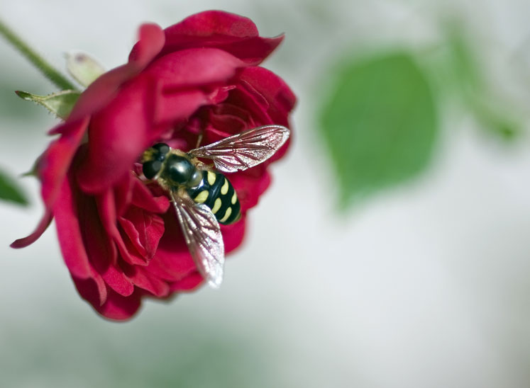 Hover Fly on Rose